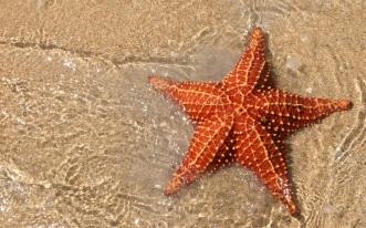 starfish-1