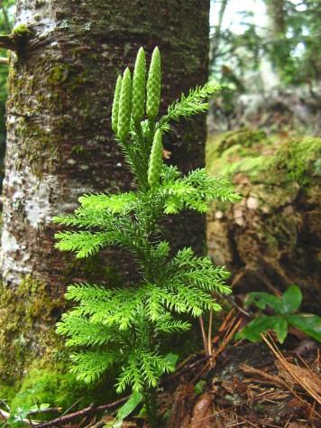 Lycopodiaceae. Image via New England Wildlife Society.